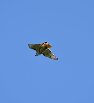 Photo of Red Tailed Hawk Pursued k on NaturalCrooksDotCom