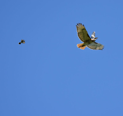 Photo of Red Tailed Hawk and Mysterious Red Spot on NaturalCrooksDotCom