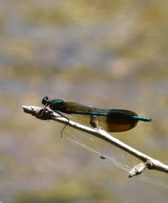 Photo of River Jewelwing On Dead Branch on NaturalCrooksDotCom