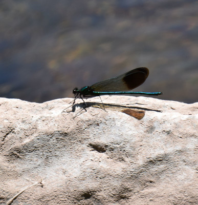 Photo of River Jewelwing On Rock on NaturalCrooksDotCom
