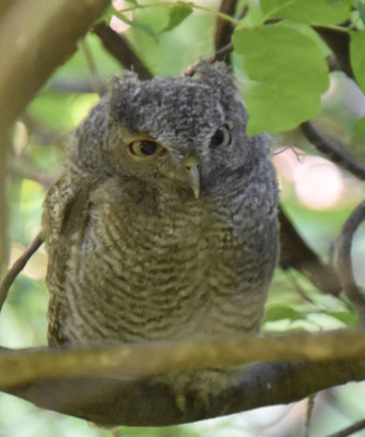 Photo of Screech Owl Fledgling Close on NaturalCrooksDotCom