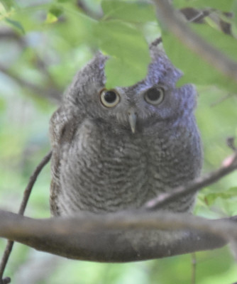 Photo of Screech Owl Fledgling Please on NaturalCrooksDotCom