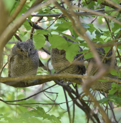 Photo of Screech Owls 3 Fledglings on Branch on NaturalCrooksDotCom
