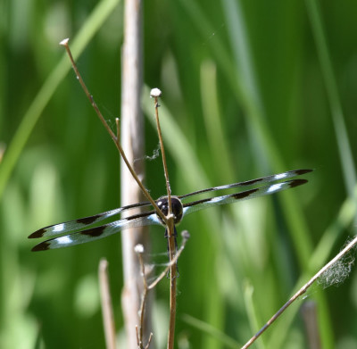 Photo of Twelve Spotted Skimmer Riverwood on NaturalCrooksDotCom