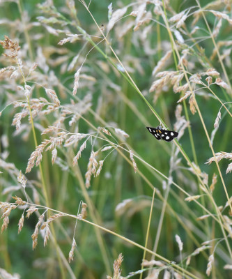 Photo of White Spotted Sable on Grasses on NaturalCrooksDotCom