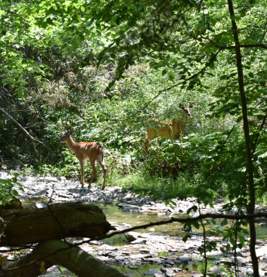Photo of White Tailed Doe and a Deer Rattray On NaturalCrooksDotCom