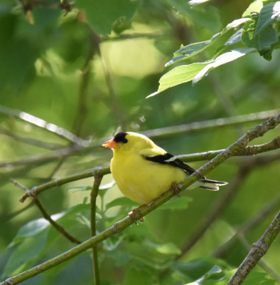 Photo of American Goldfinch Male 16 Mile Creek on NaturalCrooksDotCom