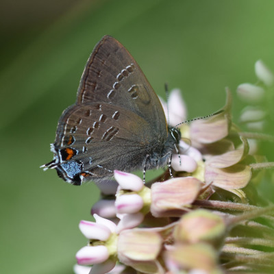 Photo of Banded Hairstreak on Milkweed on NaturalCrooksDotCom