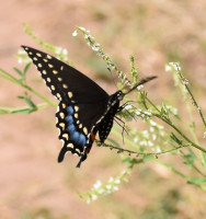 Photo of Black Swallowtail White Sweet Clover on NaturalCrooksDotCom