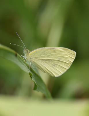 Photo of Cabbage White Butterfly Bronte On NaturalCrooksDotCom