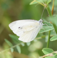 Photo of Cabbage White Sheridan On NaturalCrooksDotCom