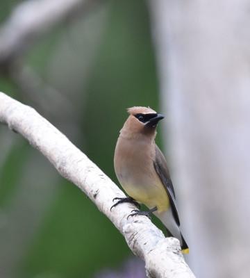 Photo of Cedar Waxwing Right Profile on NaturalCrooksDotCom
