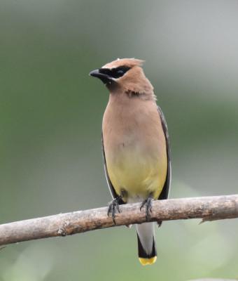 Photo of Cedar Waxwing left profile on NaturalCrooksDotCom