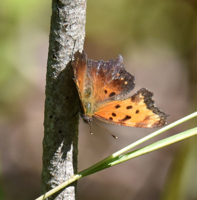 Photo of Comma Bronte Near Sap Tree on NaturalCrooksDotCom