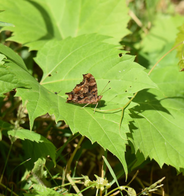 Photo of Comma on Grape Leaf Bronte On NaturalCrooksDotCom