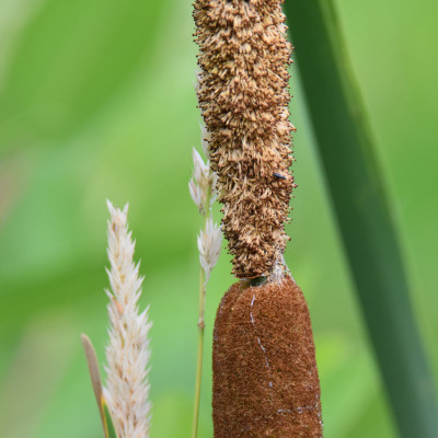 Photo of Common Cattail Male Female Flowers on NaturalCrooksDotCom