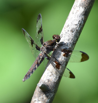 Photo of Common Whitetail Dragonfly Female Bronte on NaturalCrooksDotCom