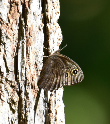 Photo of Common Wood Nymph Bronte Sap Tree on NaturalCrooksDotCom