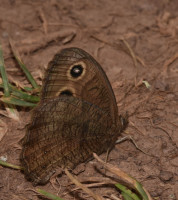 Photo of Common Wood Nymph Sheridan on NaturalCrooksDotCom