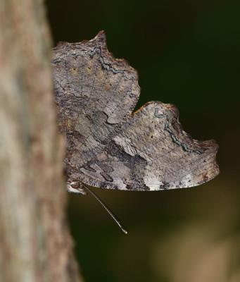 Photo of Compton Tortoiseshell Underside of Wings Sap on NaturalCrooksDotCom