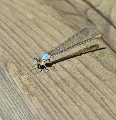Photo of Damselfly Sunning on Railing 16 Mile Creek on NaturalCrooksDotCom