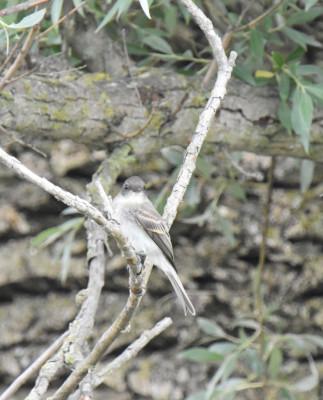 Photo of Flycatcher Credit River on NaturalCrooksDotCom