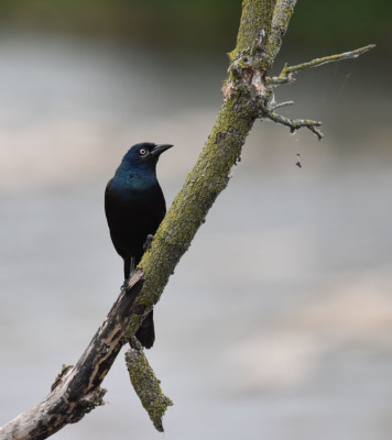 Photo of Grackle Vertical Perch Credit River on NaturalCrooksDotCom