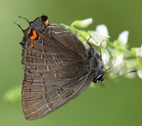 Photo of Banded Hairstreak White Sweet Clover Sheridan Meadows Mississauga ON Canada 2016 July 10 on NaturalCrooksDotCom