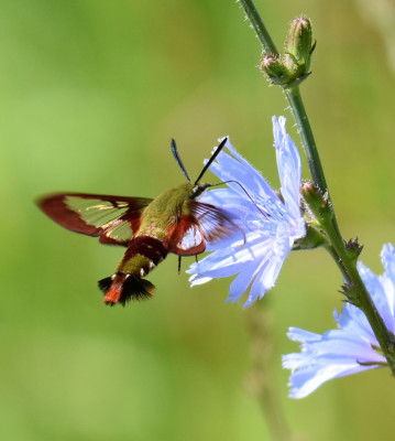 Photo of Hummingbird Clearwing Moth Chicory Bronte Ck PP on NaturalCrooksDotCom