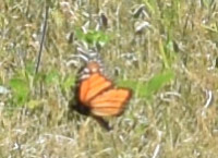 Photo of Monarch Sheridan Meadows Mississauga ON Canada 2016 July 10 on NaturalCrooksDotCom