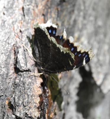 Photo of Mourning Cloak Battered on Sap Tree on NaturalCrooksDotCom