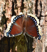 Photo of Mourning Cloak Bronte Sap Tree on NaturalCrooksDotCom