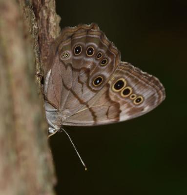 Photo of Northern Pearly Eye Sap 2 on NaturalCrooksDotCom