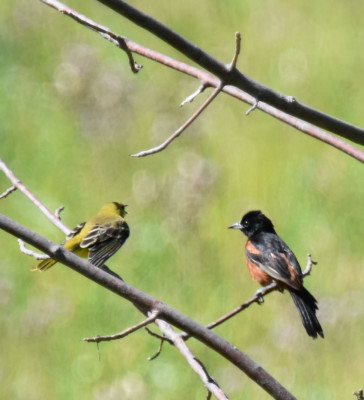 Photo of Orchard Oriole Male Juvenile Bronte Creek PP on NaturalCrooksDotCom