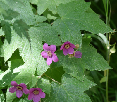 Photo of Purple Flowering Raspberry on NaturalCrooksDotCom