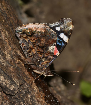Photo of Red Admiral on Sap Tree Underside of Wings On NaturalCrooksDotCom