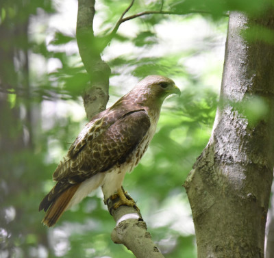 Photo of Red Tailed Hawk Landed Close 16 Mile Creek on NaturalCrooksDotCom