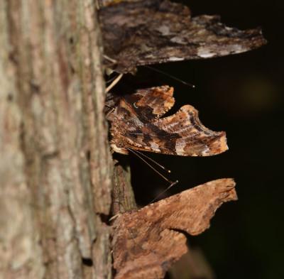 Photo of Sap Tree Butterflies 3 in a Row on NaturalCrooksDotCom