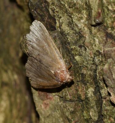 Photo of Sap Tree Small Moth on NaturalCrooksDotCom