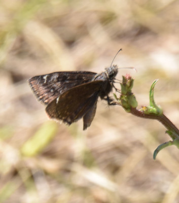 Photo of Skipper Brown Bronte Creek on NaturalCrooksDotCom