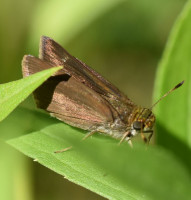 Photo of Dun Skipper on Goldenrod Sheridan Meadows Mississauga ON Canada 2016 July 10 on NaturalCrooksDotCom