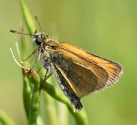 Photo of European Skipper on Vetch Sheridan Meadows Mississauga ON Canada 2016 July 10 on NaturalCrooksDotCom