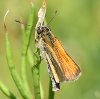 Photo of European Skipper on Vetch Top Sheridan Meadows Mississauga ON Canada 2016 July 10 on NaturalCrooksDotCom