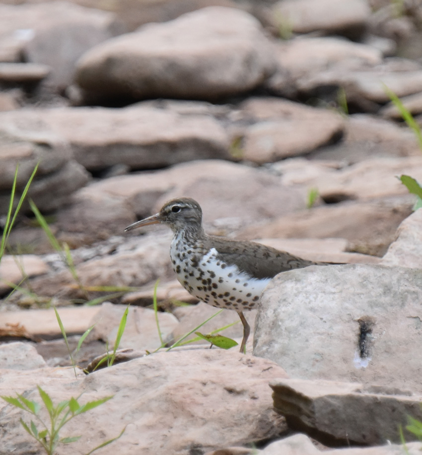 Photo of Spotted Sandpiper Adult Sixteen Mile Creek on NaturalCrooksDotCom