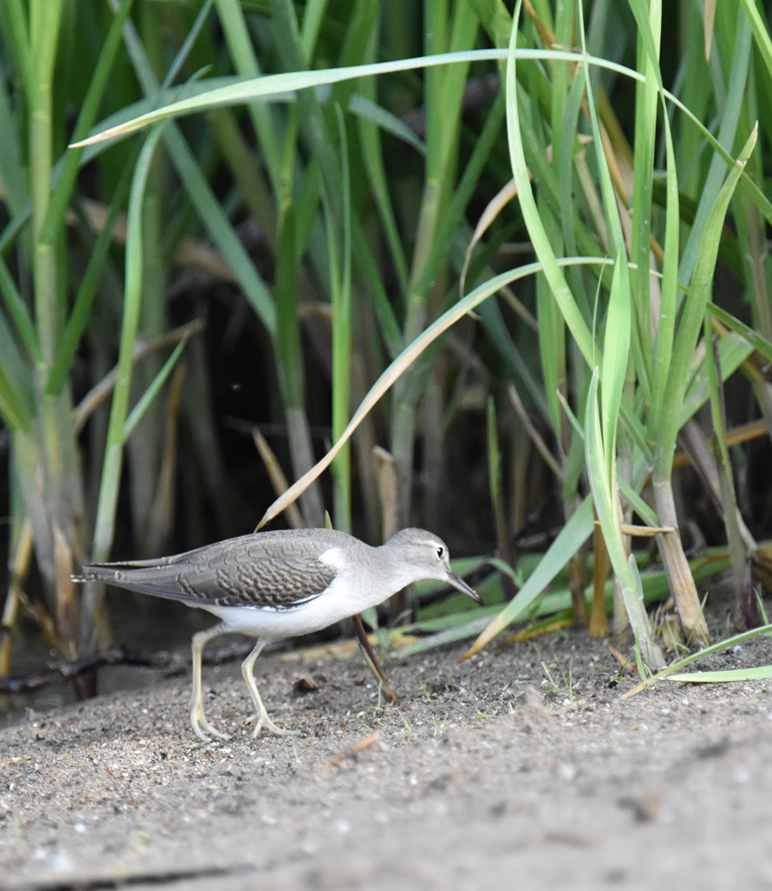 Photo of Spotted Sandpiper Juvenile Greens on NaturalCrooksDotCom