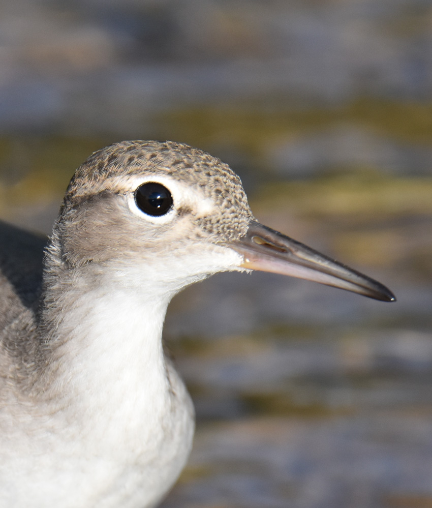 Photo of Spotted Sandpiper Juvenile Head Shot on NaturalCrooksDotCom