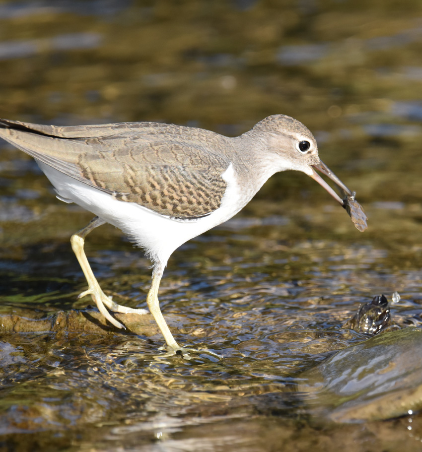 Photo of Spotted Sandpiper Juvenile Rock Not Food on NaturalCrooksDotCom