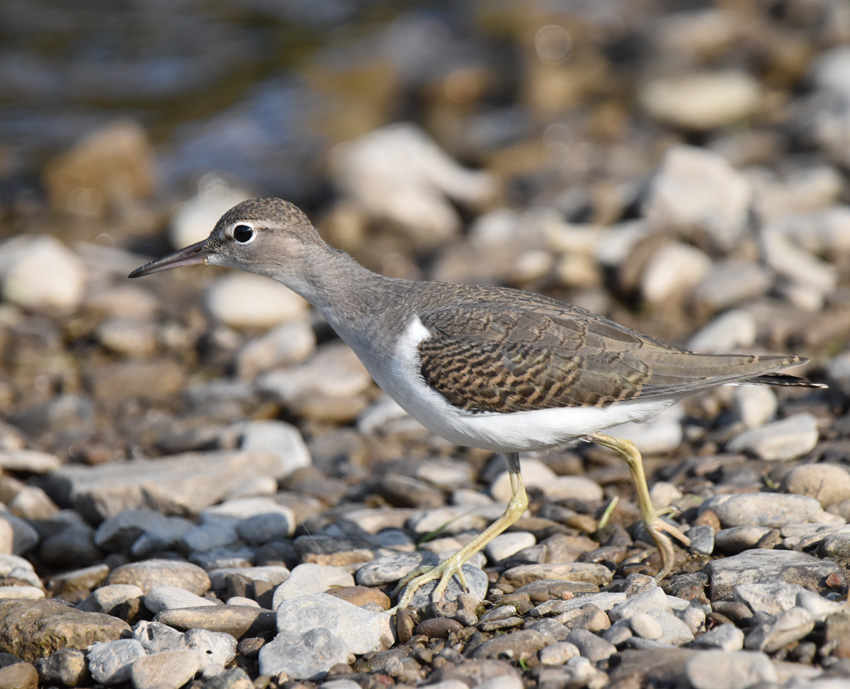 Photo of Spotted Sandpiper Juvenile Stretch on NaturalCrooksDotCom