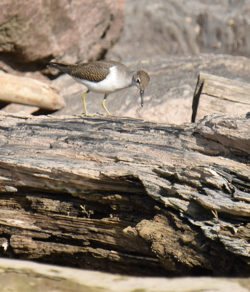 Photo of Spotted Sandpiper on Stump on NaturalCrooksDotCom