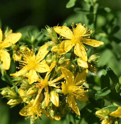 Photo of St Johns Wort 16 Mile Creek on NaturalCrooksDotCom